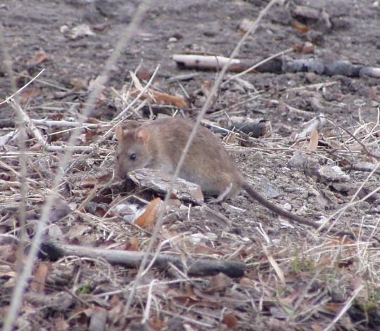 3.04.2009 Harju mäe nõlval toimetav rott. Autori foto