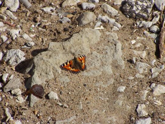 Reede (3. aprill 2009) Stroomi ranna esimene liblikas. Foto Virgo Kruve
