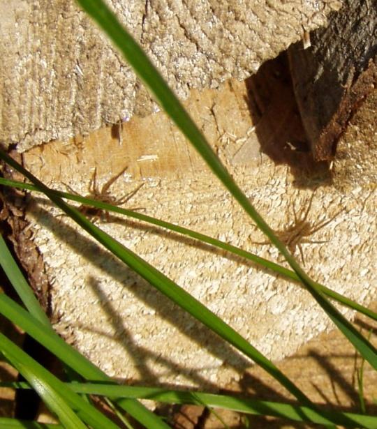 Üksteist varitsevad ämblikud. Kahjuks ei tea, kas üks neist oli saamas pruudiks või praeks teisele.