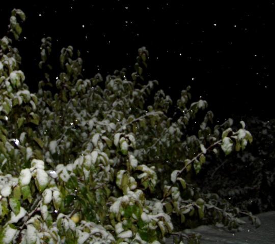 talv tuli ootamatult ja lumi kattis õunapuu foto virgo kruve 17okt09