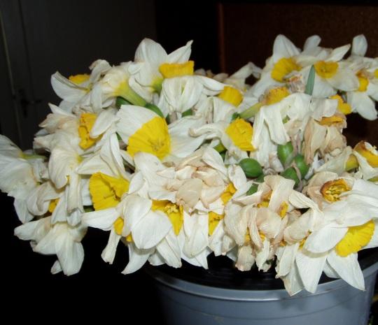 Kuumuse käes närtsinud nartissid, sest ostjad tahavad kallimaid lilli. Autori foto 25.05.10