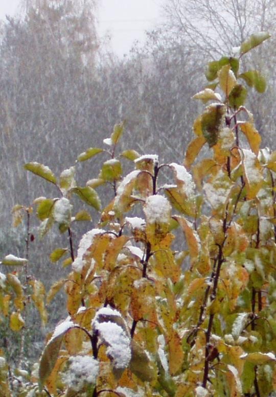Lumi tuli puude jaoks ootamatul ja kattis värvikirevad lehed. Foto Viro Kruve