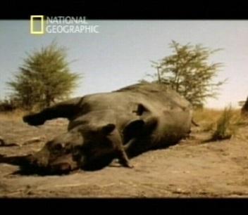 """Telekanal National Geographic näitas eile pärastlõunal filmi ninasarvikute küttimisest, et salakütid saaksid maha saagida nende väärtusliku sarve. Sama päeva õhtul tegi KAPO avalduse, kus justkui kinnitas 6 päeva varem ajalehes Postimees ilmunud süüdistusi erakonnale raha küsimisest. Seejuures ei puudutata enam teemat """"mõjuagent""""."""