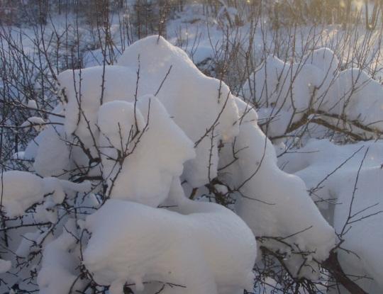 Ma ei mäleta seda aega kui õunapuu latv oleks olnud kaetud koheva lume kuhjaga, mis keeldub okstelt alla tulemast. Foto Virgo Kruve