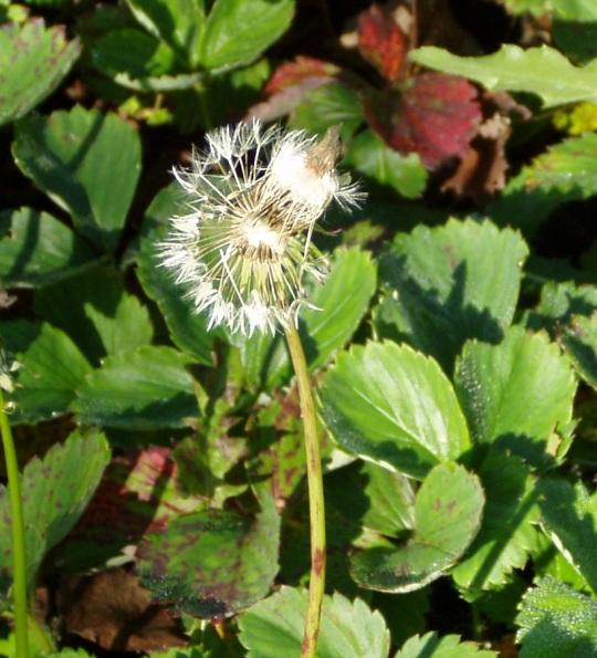 Võilille seemnetega õisik oli Eestimaa Roheliste logol ja tuul oli sellest osa ära puhunud. Minu jaoks on nad umbrohu sümboliks Eesti poliitikas. Foto Virgo Kruve